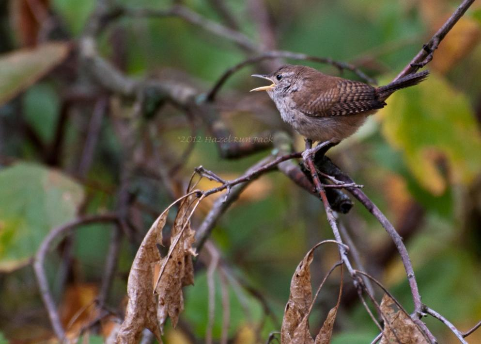 Name:  House wren 9-7-12 D.jpg