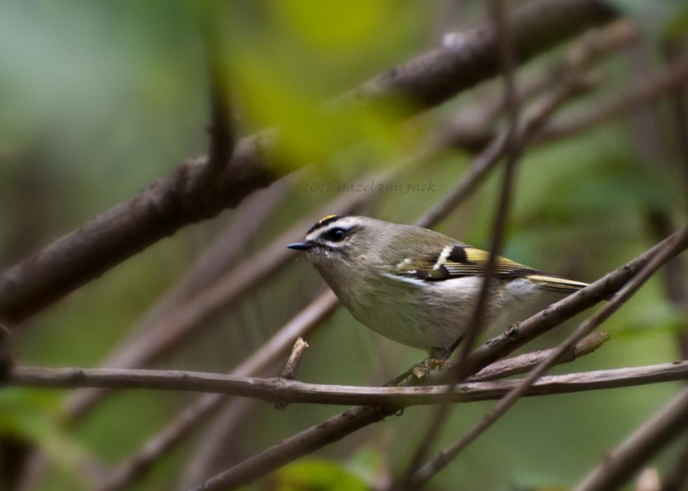 Name:  Golden-crowned kinglet 9-12-12.jpg