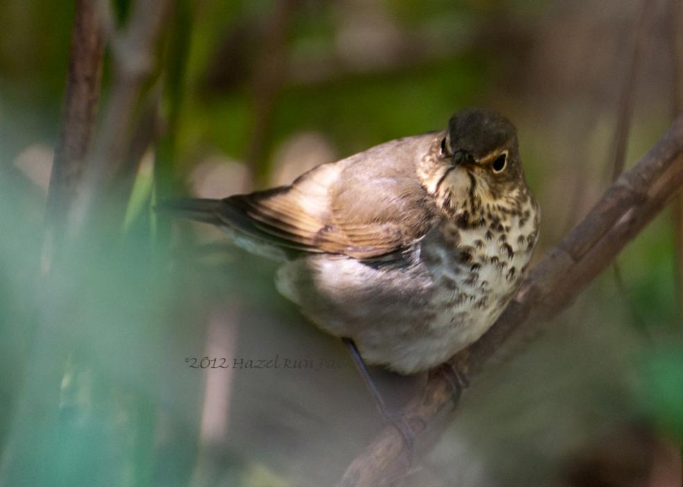 Name:  Swainson's thrush 9-1-12 C.jpg