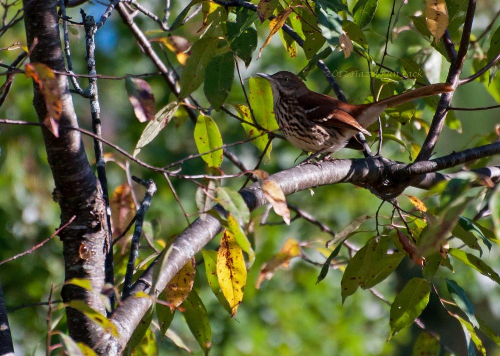 Name:  Brown thrasher 9-10-12 A.jpg