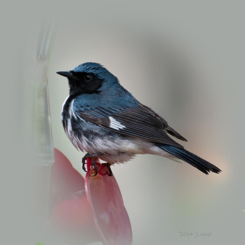 Name:  Black-throated blue warbler 5-17-14 B.jpg