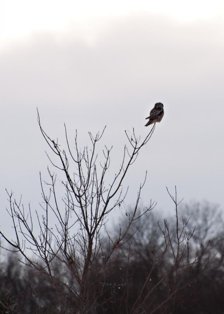 Name:  Northern hawk-owl, first glimpse 12-31-14 B.jpg