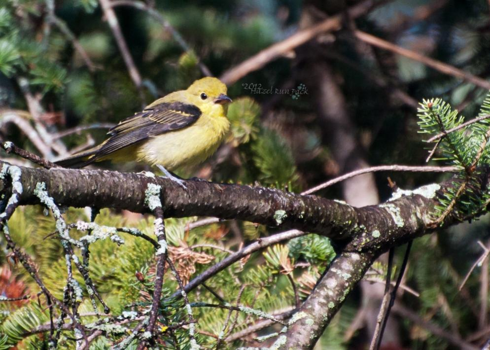 Name:  Scarlet tanager, fem 8-19-12 A.jpg