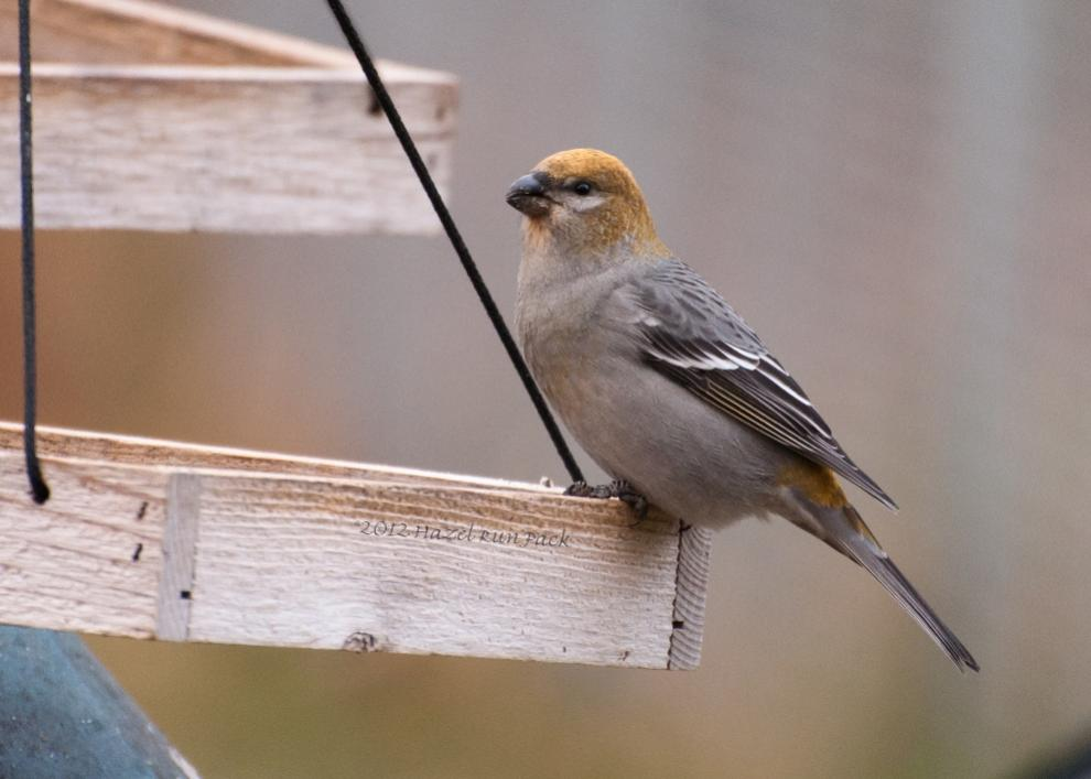 Name:  Pine grosbeak, fem 11-3-12 H.jpg