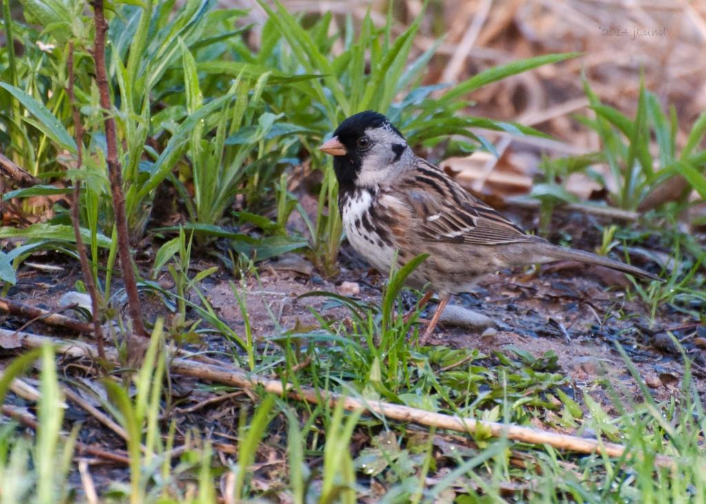 Name:  Harris s sparrow 5-14-14 K.jpg