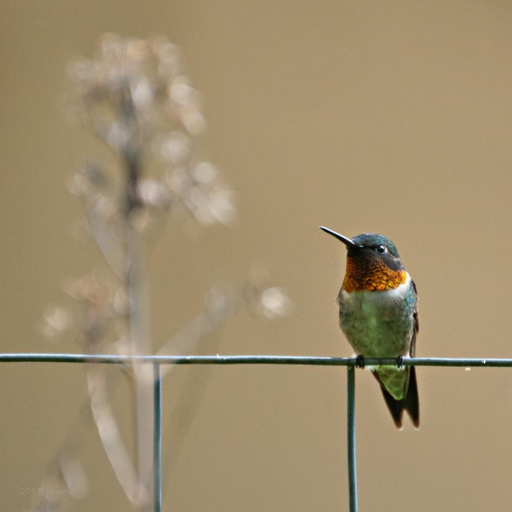 Name:  Ruby-throated hummingbird, male 6-8-15 B.jpg