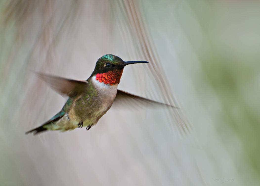 Name:  Ruby-throated hummingbird, morning male 6-16-15 H.jpg