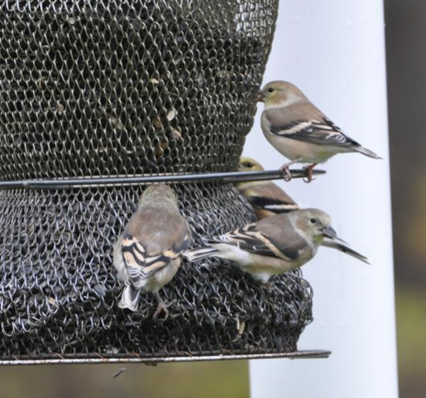 Name:  At the feeder 10-28-09 O.jpg