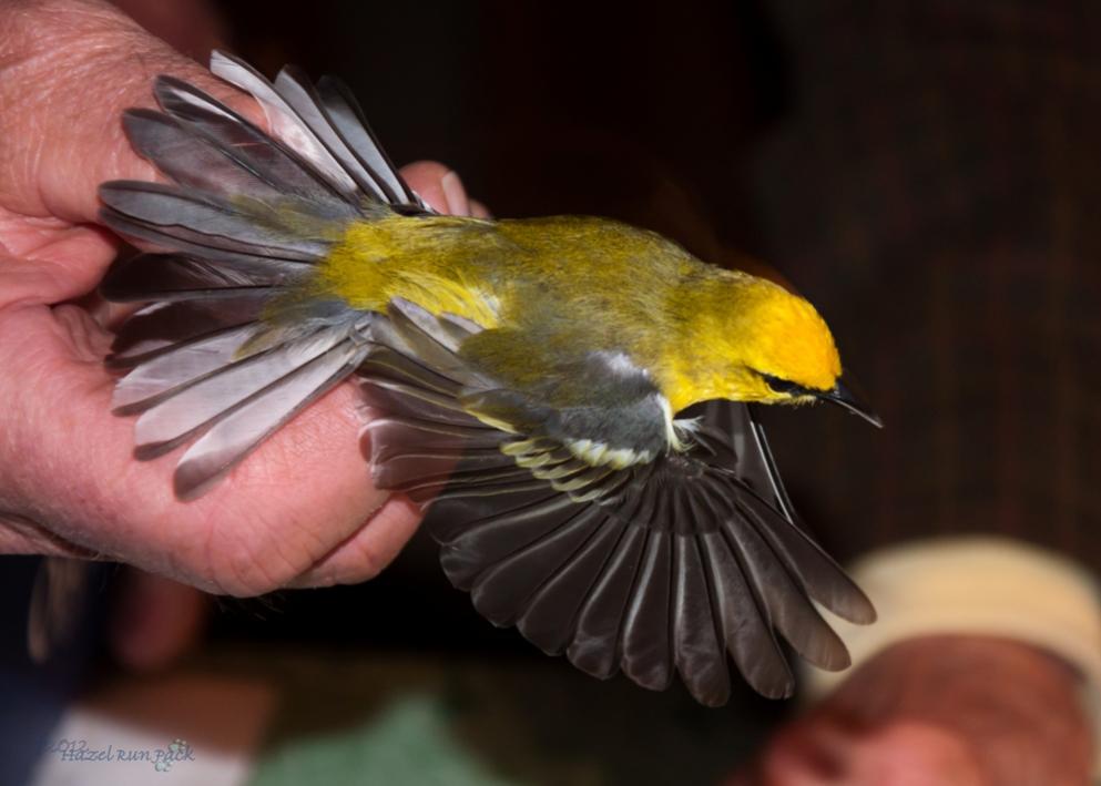 Name:  Blue-winged warbler 5-7-12 D.jpg Views: 94 Size:  59.1 KB