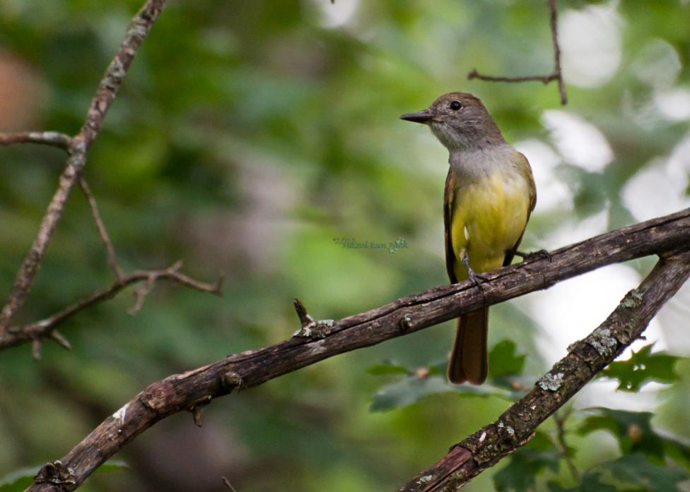 Name:  Great crested flycatcher, possibly hatch year 7-7-12 A.jpg