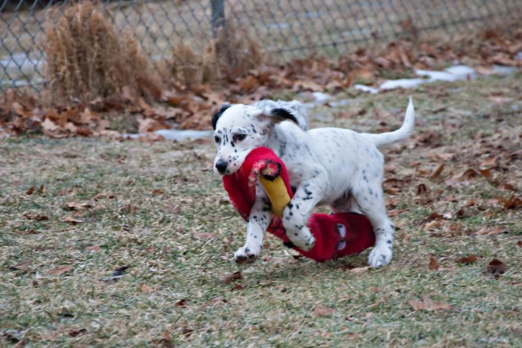 Name:  Lili dragging Mr Snake around the yard 1-15-19.jpg