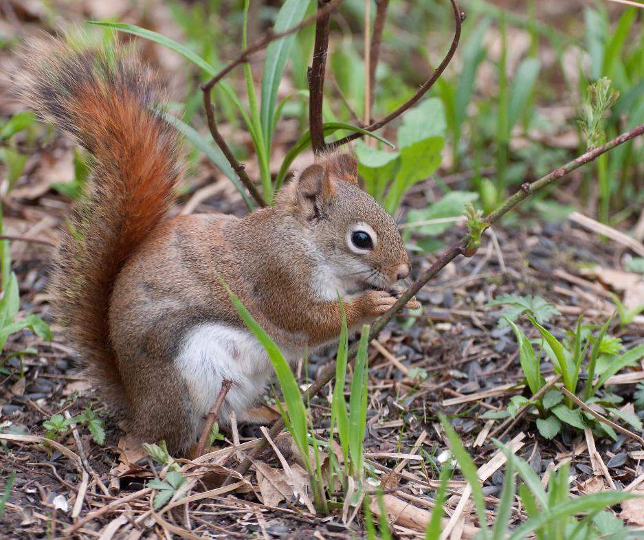 Name:  Red squirrel 5-14-11 A.jpg Views: 152 Size:  156.0 KB