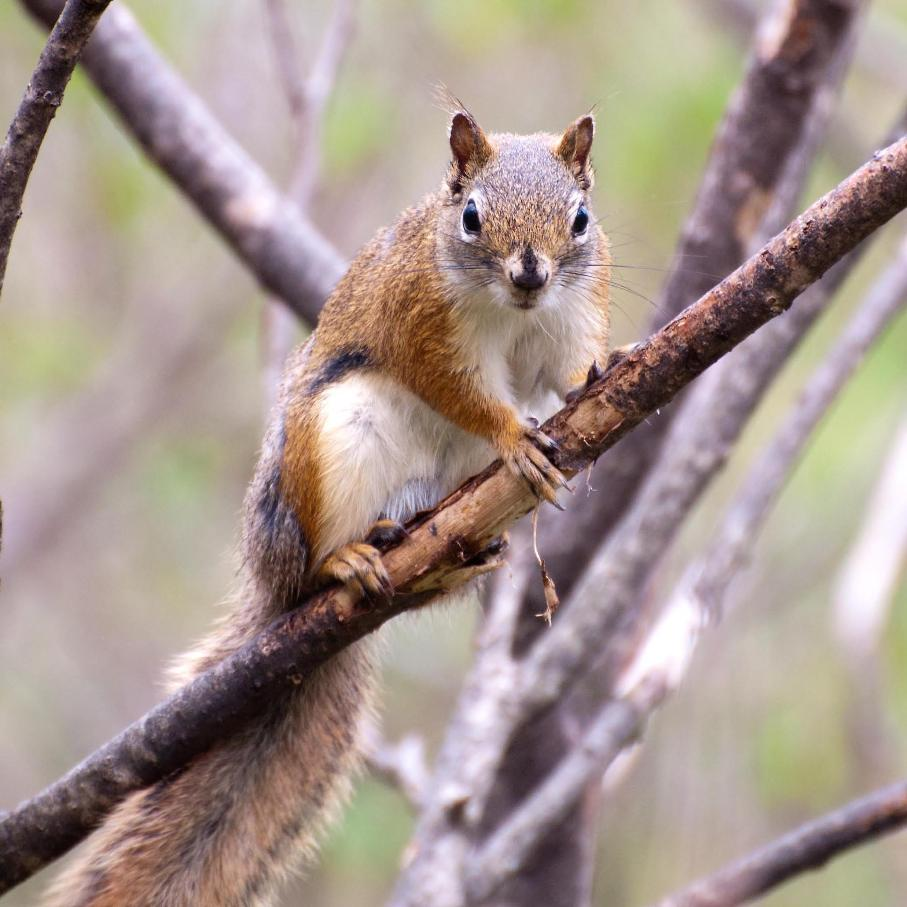 Name:  Red squirrel 5-21-11 A.jpg Views: 145 Size:  94.9 KB