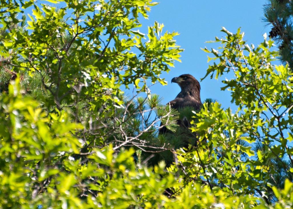 Name:  Bald eagle, Junior 7-1-16 C.jpg Views: 471 Size:  170.4 KB