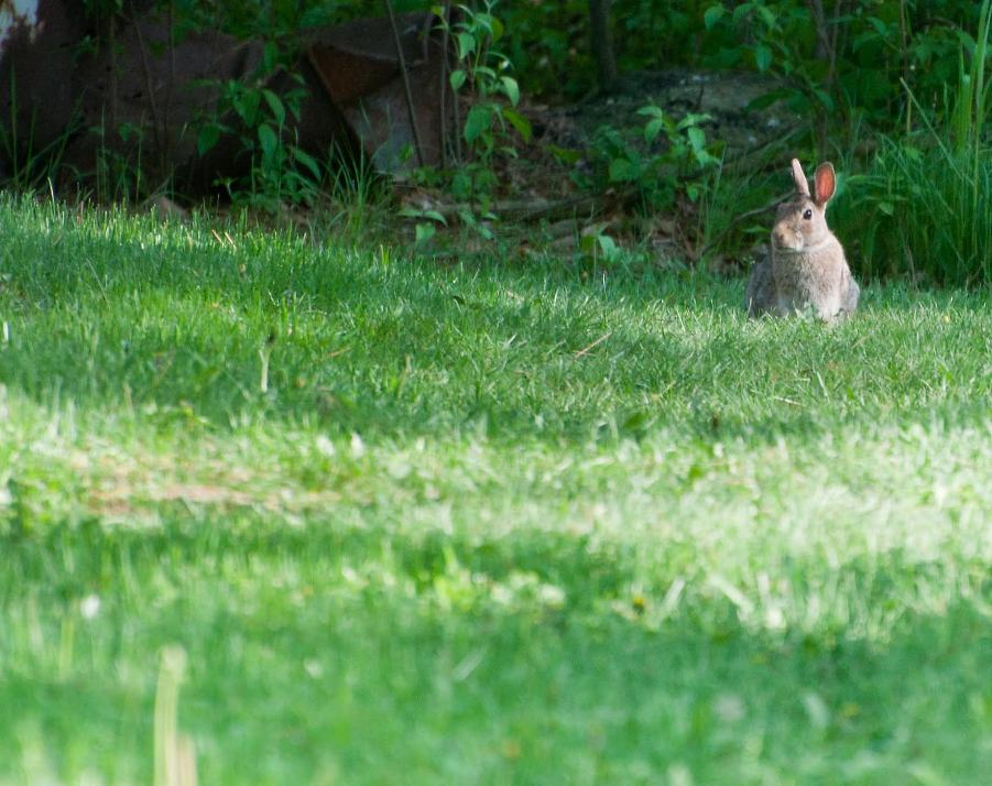 Name:  Eastern cottontail 5-30-11 A.jpg