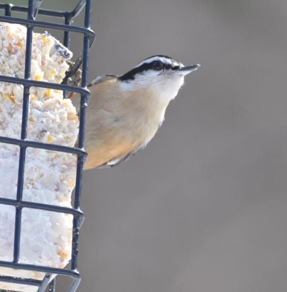 Name:  Red-breasted nuthatch on suet 2-21-10.jpg