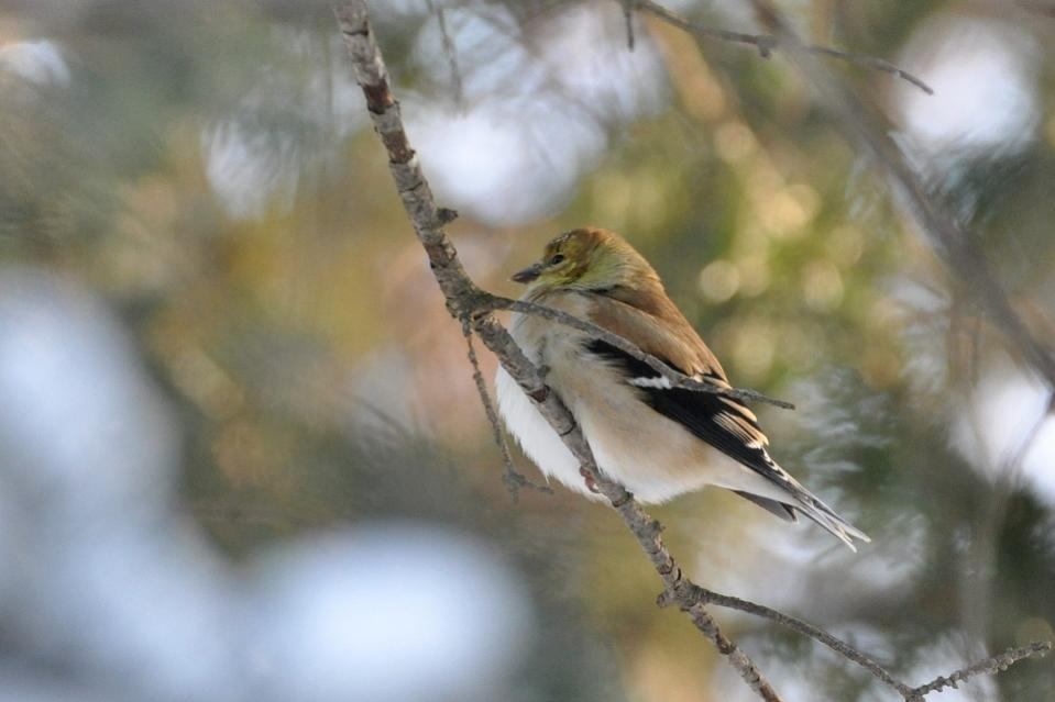 Name:  American goldfinch 12-14-10 A.jpg