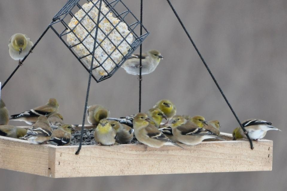Name:  Some of the goldfinches 12-16-10 A.jpg