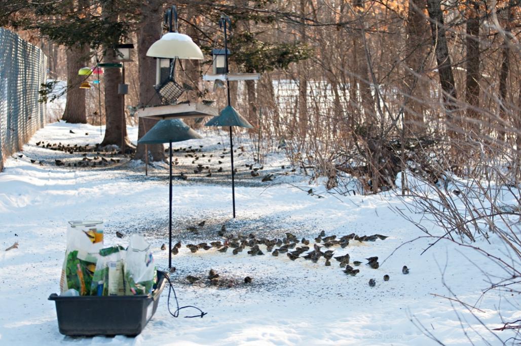 Name:  Winter finches, doc shot 2-22-15 B.jpg Views: 180 Size:  151.6 KB