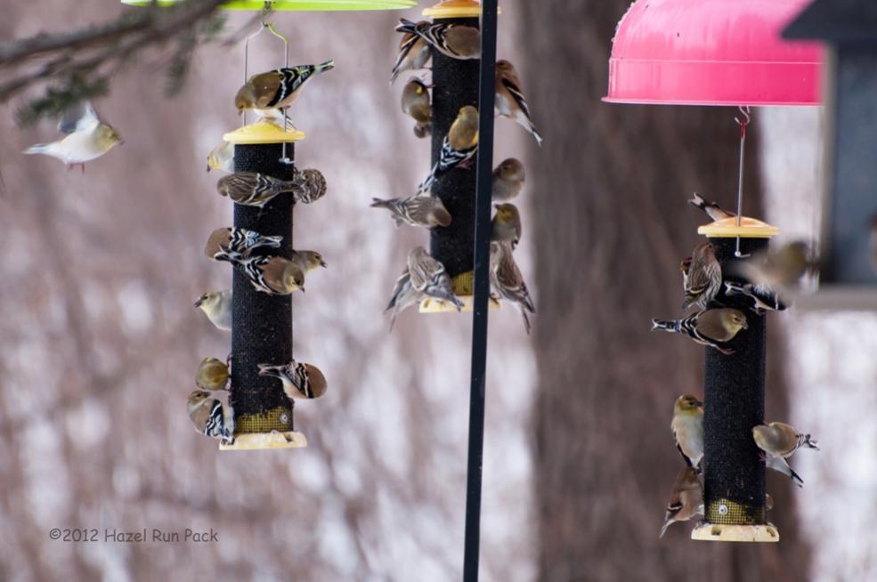 Name:  Busy feeders 1-15-12 A.jpg Views: 173 Size:  62.0 KB