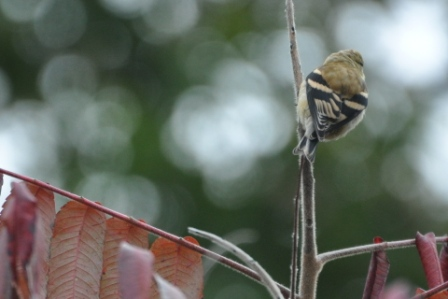 Name:  Goldfinch wing pattern 10-4-09.JPG Views: 84 Size:  78.0 KB