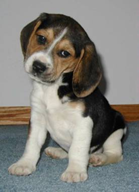 Name:  beagle.jpg Views: 582 Size:  12.5 KB