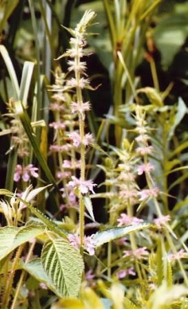 Name:  Cistern - Mystery plant 7-7-08.jpg Views: 262 Size:  30.5 KB