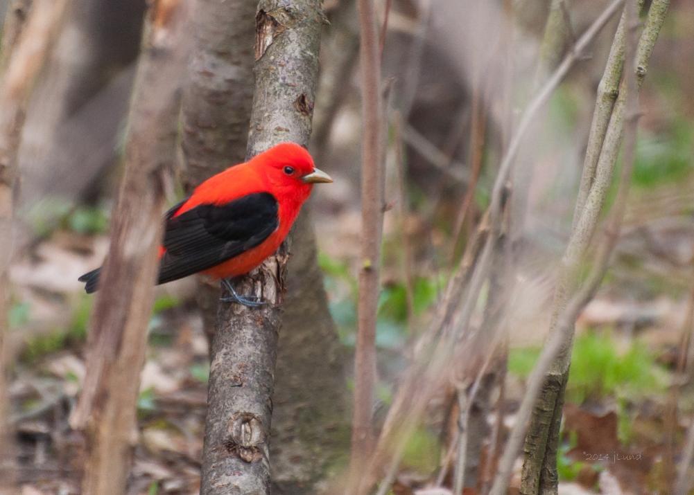 Name:  Scarlet tanager, male 5-8-14 K.jpg Views: 82 Size:  74.2 KB