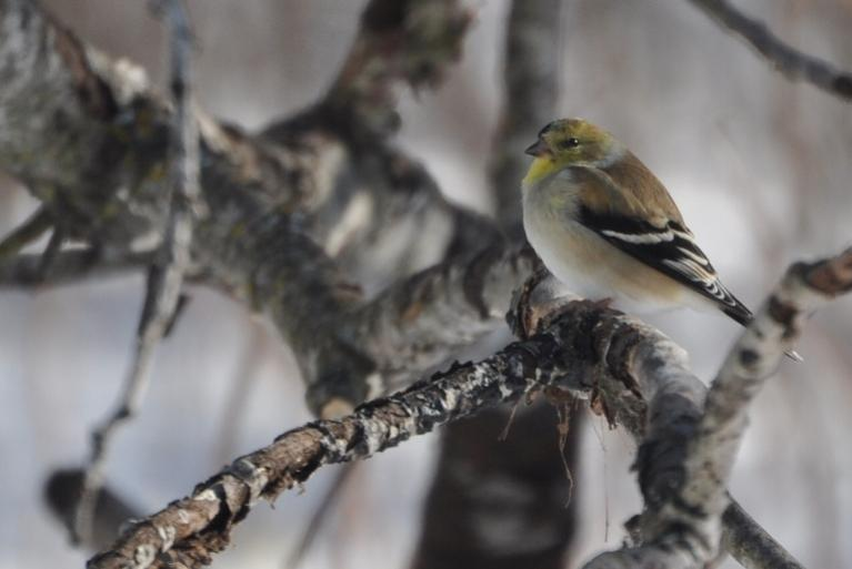 Name:  solo goldfinch 2-14-10.jpg