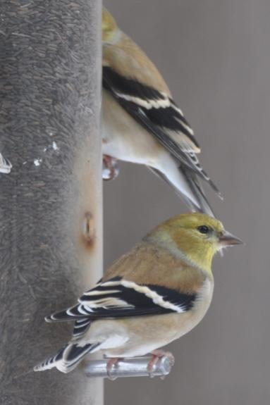 Name:  Goldfinches at the feeder 2-7-10.jpg