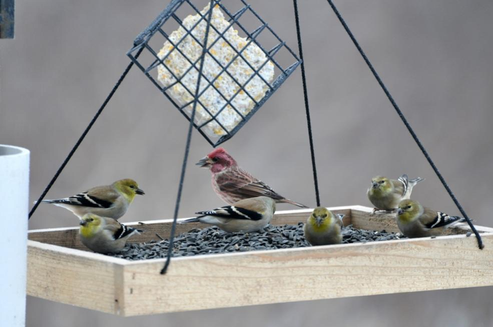 Name:  Winter finches 12-16-10 A.jpg Views: 36 Size:  63.3 KB