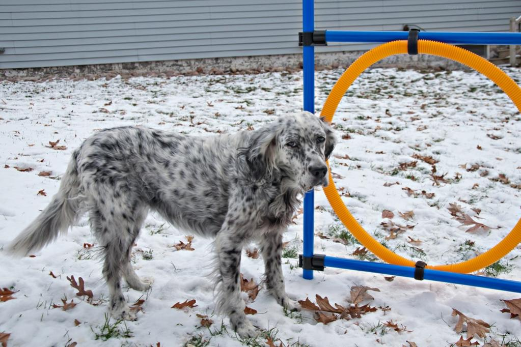 Name:  Time for one more agility run after our birthday walk 11-8-19.jpg Views: 52 Size:  125.4 KB