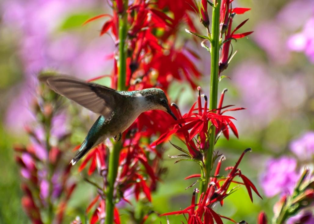 Name:  Ruby-throated hummingbird feeding at Cardinal-flower 8-5-18 B.jpg