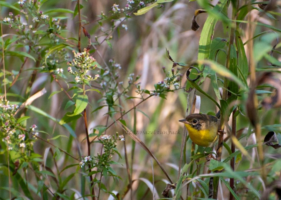 Name:  Common yellowthroat, molting male 8-30-12 C.jpg