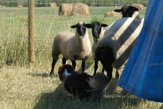 Name:  Sheep3.jpg