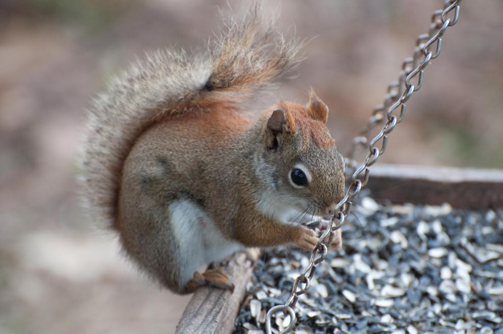 Name:  Red squirrel 5-5-11.jpg Views: 192 Size:  76.8 KB
