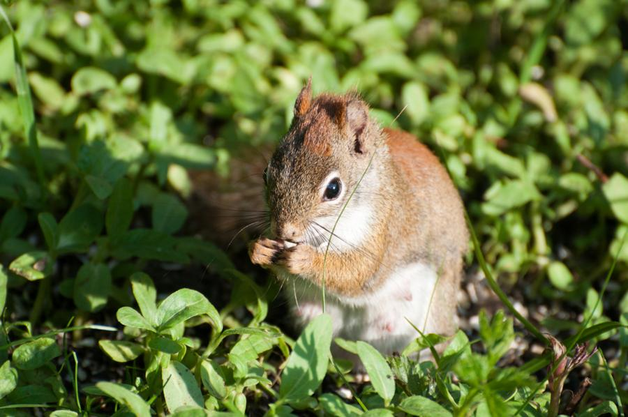Name:  Red squirrel 5-30-11 A.jpg Views: 195 Size:  88.4 KB