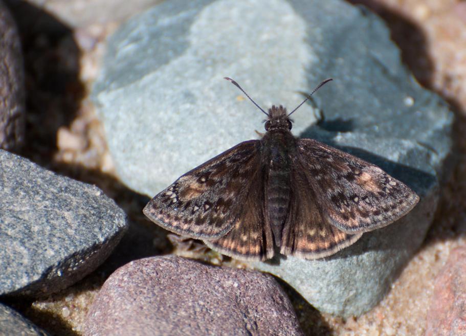 Name:  Wild indigo duskywing 5-20-11 A.jpg Views: 313 Size:  93.3 KB