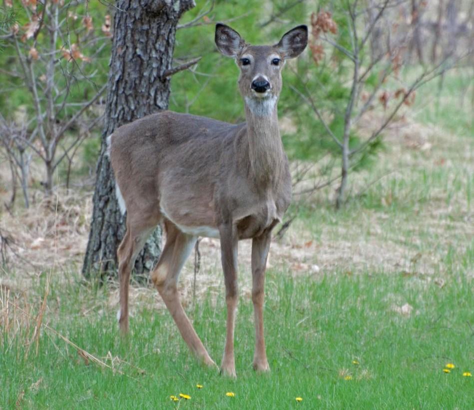 Name:  Very pregnant doe 5-7-11.jpg Views: 201 Size:  194.2 KB