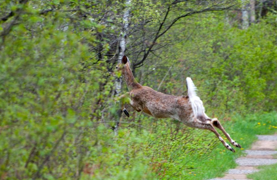 Name:  Shaggy spring deer 5-21-11 B.jpg Views: 190 Size:  99.5 KB