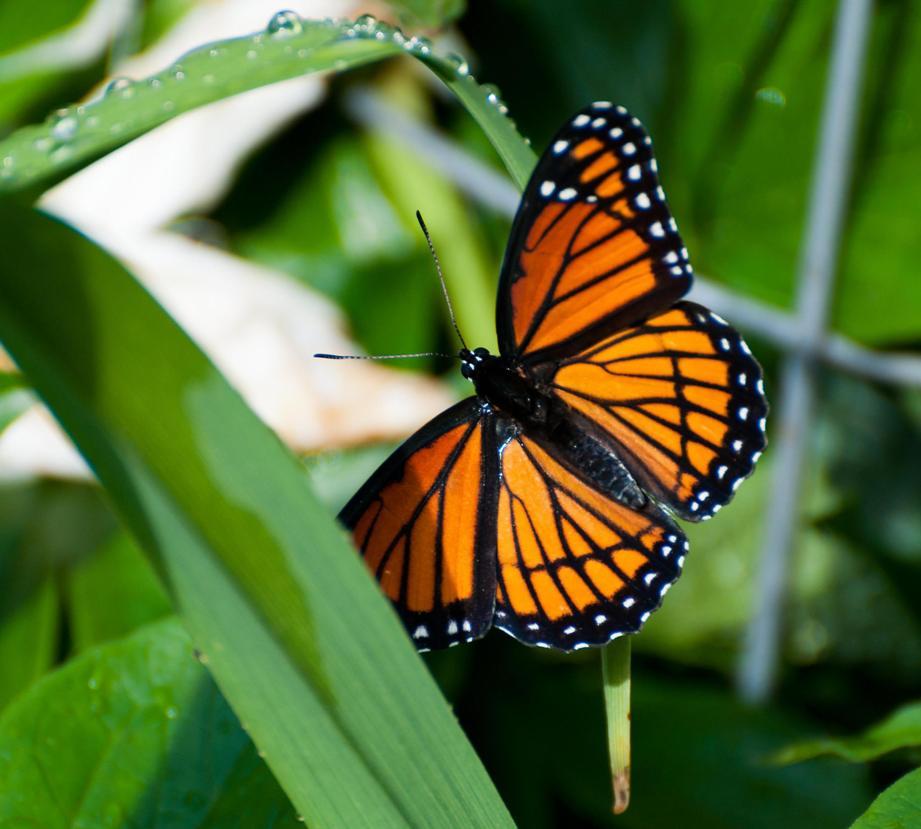 Name:  Viceroy butterfly 6-19-11 B.jpg Views: 450 Size:  82.4 KB