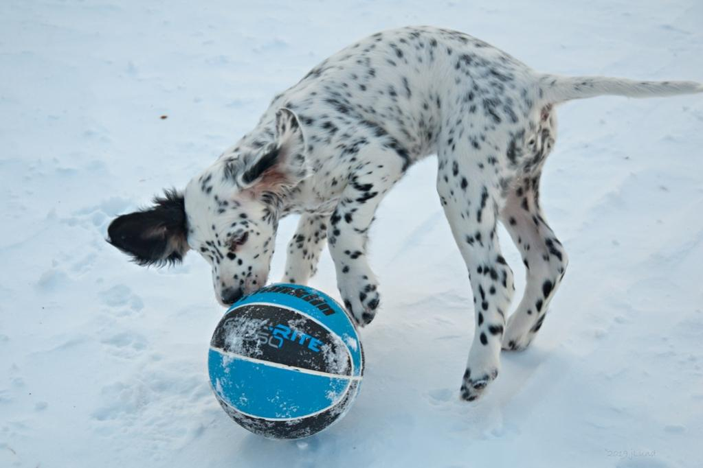Name:  Lili playing with her black-and-blue ball 1-29-19 B.jpg Views: 120 Size:  58.2 KB