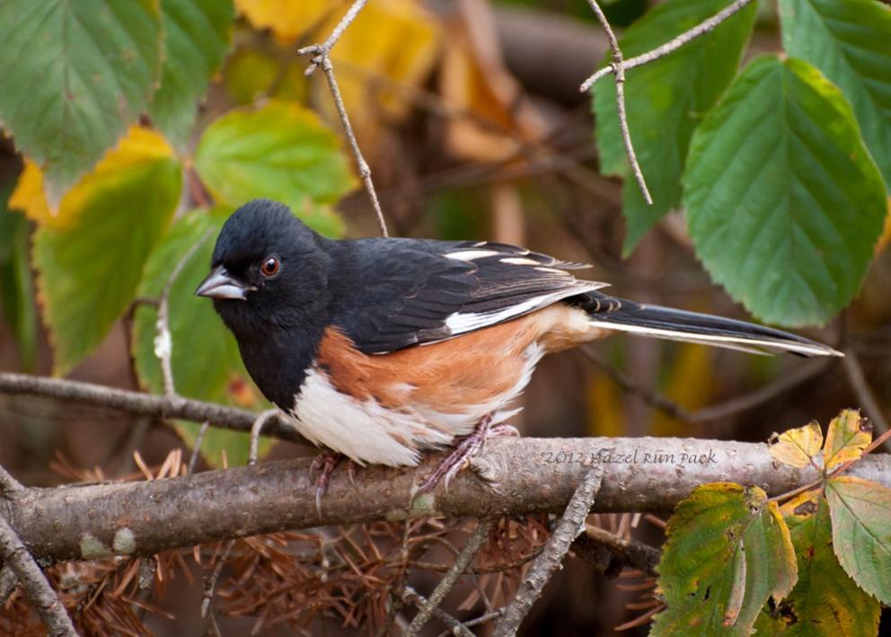 Name:  Eastern towhee, first fall male 10-1-12 A.jpg Views: 89 Size:  88.6 KB