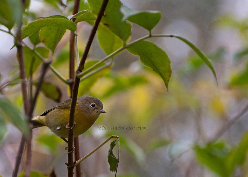 Name:  Nashville warbler 9-12-12 B.jpg Views: 90 Size:  62.9 KB
