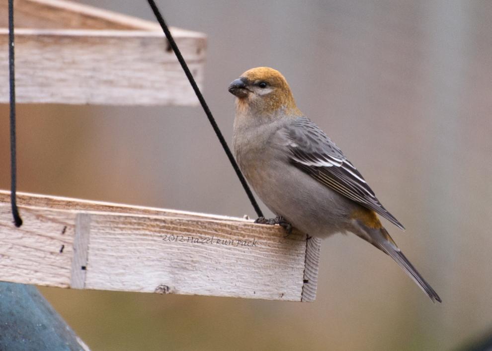 Name:  Pine grosbeak, fem 11-3-12 H.jpg Views: 80 Size:  61.3 KB