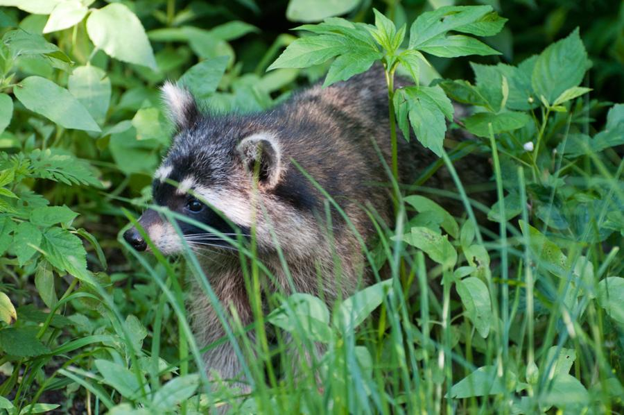 Name:  Raccoon #1 6-19-11 A.jpg Views: 634 Size:  100.0 KB