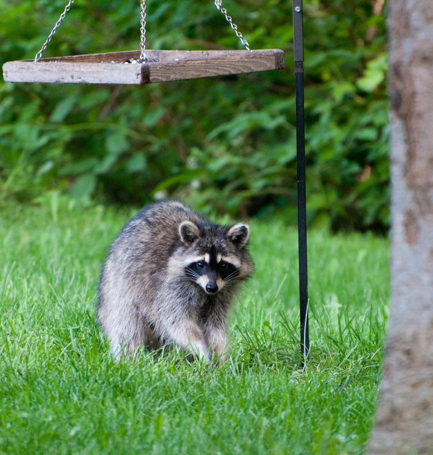 Name:  Raccoon #2 6-19-11 D.jpg Views: 481 Size:  133.1 KB