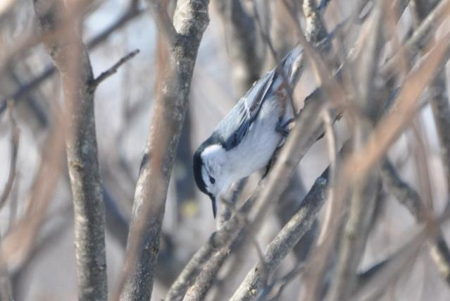 Name:  nuthatch in sumac 2-13-10.jpg