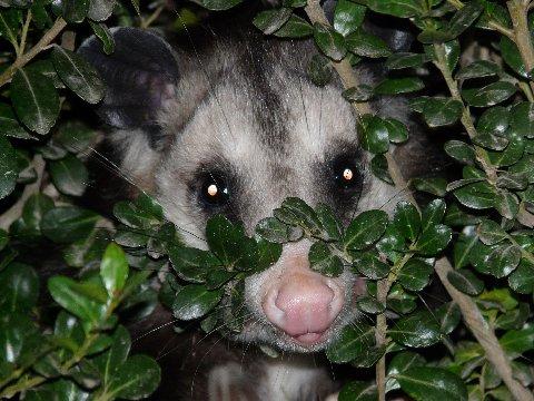 Name:  Petey the Possum.JPG Views: 1312 Size:  55.6 KB