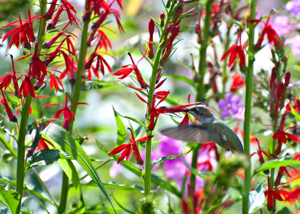 Name:  Ruby-throated hummingbird feeding at Cardinal-flower 8-5-18 A.jpg